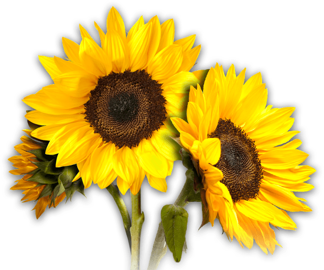 Girasol Png (109+ images in Collection) Page 1.