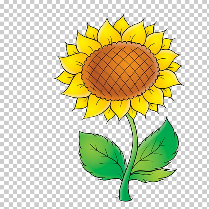 Common sunflower Drawing , girassol PNG clipart.