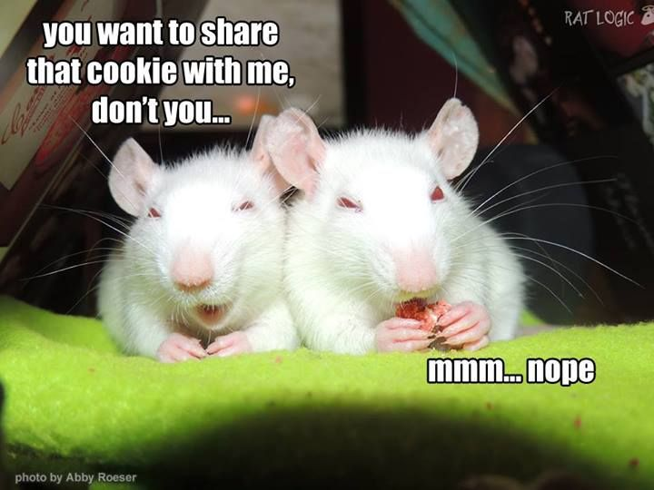 291 Best images about For the Love of Rats. on Pinterest.