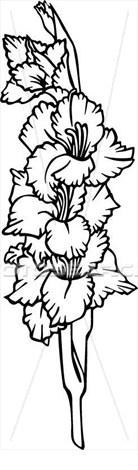 drawing of gladiolus.
