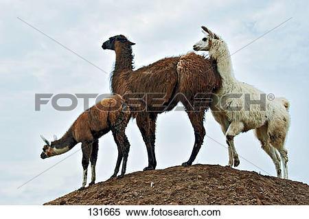 Stock Image of two Llamas with cub / Lama glama 131665.
