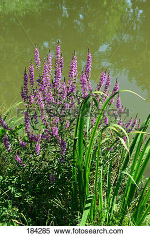 Stock Image of Purple Loosestrife, Spiked Loosestrife (Lythrum.