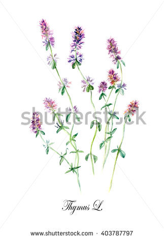 Thymus Isolated Stock Photos, Royalty.