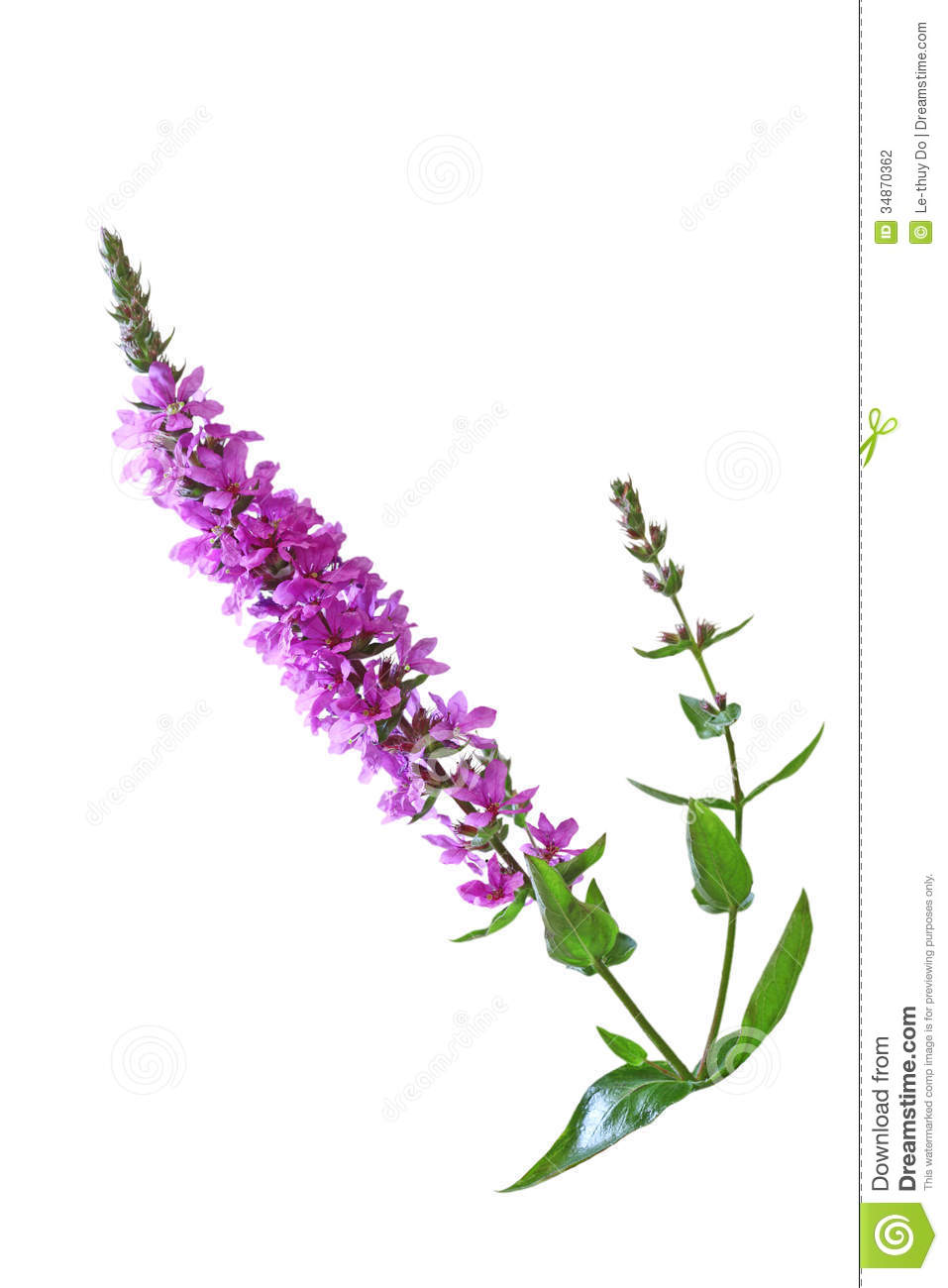 Purple Loosestrife Flower Stock Photography.