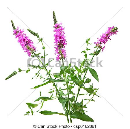 Stock Photography of Purple Loosestrife Lythrum salicaria wild.
