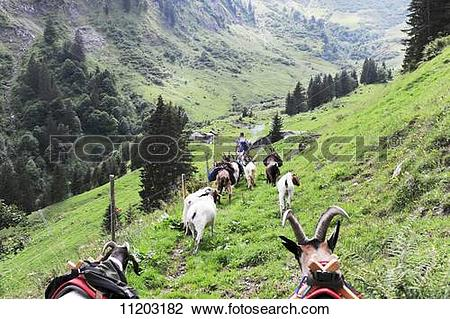 Stock Photo of High on the Alps with pack goats in the canton of.