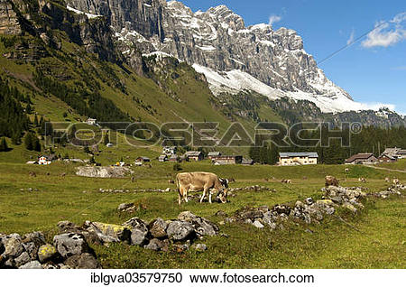 "Stock Photography of ""Cattle grazing on Urnberboden Alp, summer."
