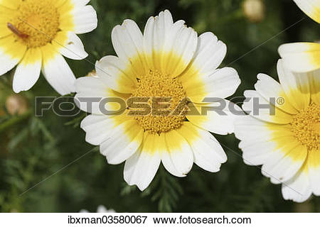 "Picture of ""Garland Chrysanthemum (Glebionis coronaria var."