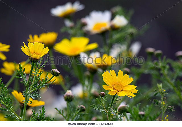 Ö¡ Daisy Stock Photos & Ö¡ Daisy Stock Images.