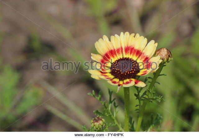 Maroon Chrysanthemum Stock Photos & Maroon Chrysanthemum Stock.