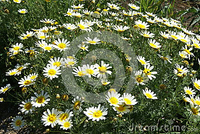 Glebionis Coronaria Stock Photo.