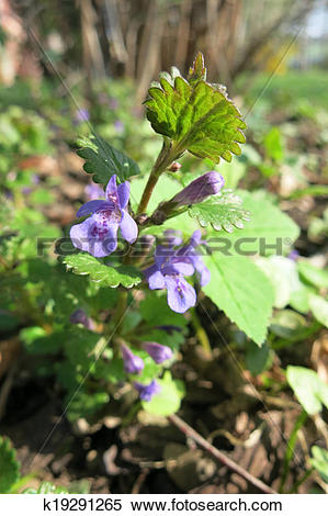 Stock Image of Creeping Charlie or Catsfoot (Glechoma hederacea.
