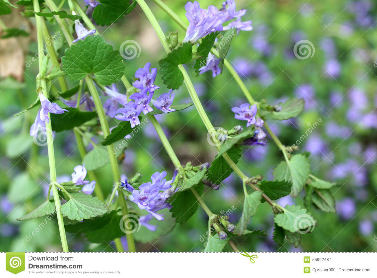 Glechoma Hederacea / Creeping Charlie Stock Photo.