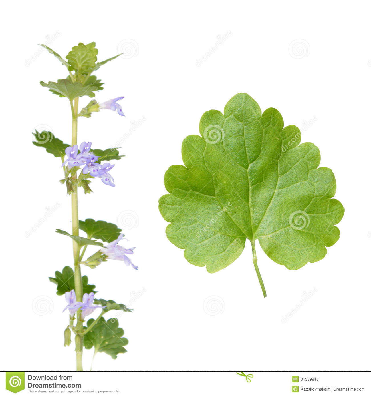 Glechoma Hederacea (Ground Ivy) Royalty Free Stock Photo.