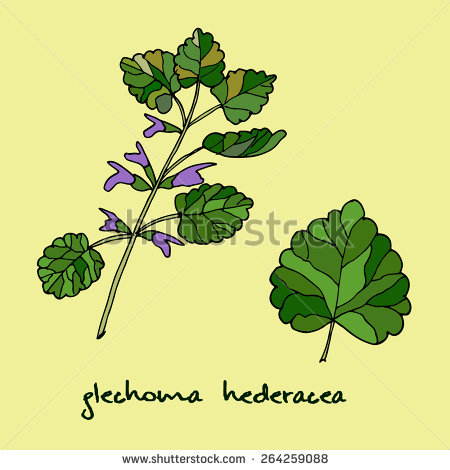 Glechoma Hederacea Stock Photos, Royalty.