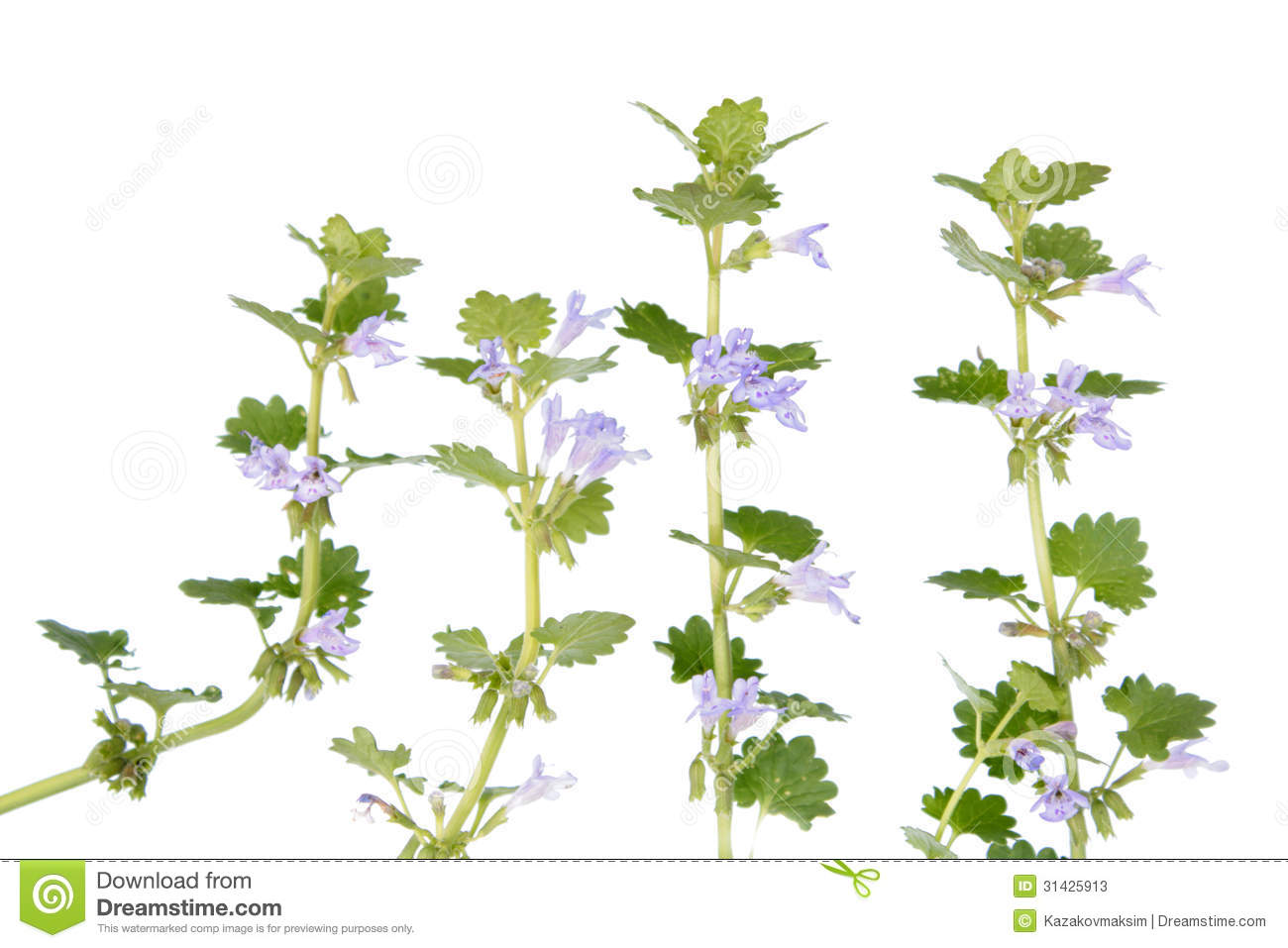 Glechoma Hederacea (Ground Ivy) Stock Photos.