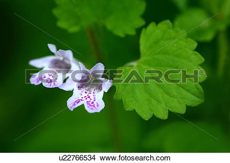 Stock Photo of Glechoma hederacea subsp. grandis, Close.