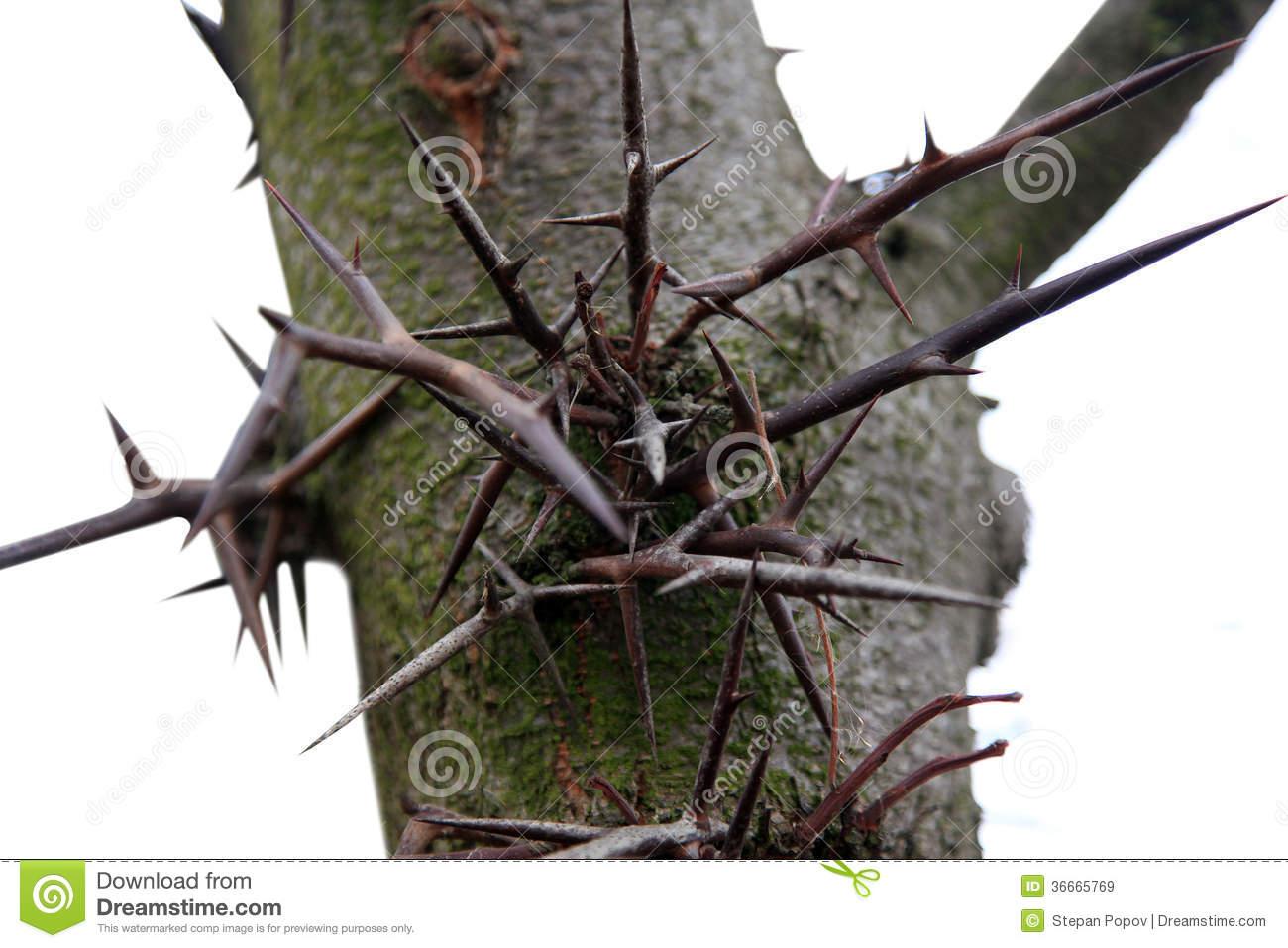 Honey Locust Tree Thorns Royalty Free Stock Photo.