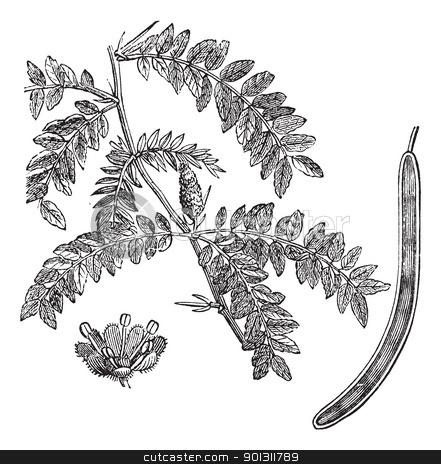 Honey locust or Gleditsia triacanthos vintage engraving stock vector.