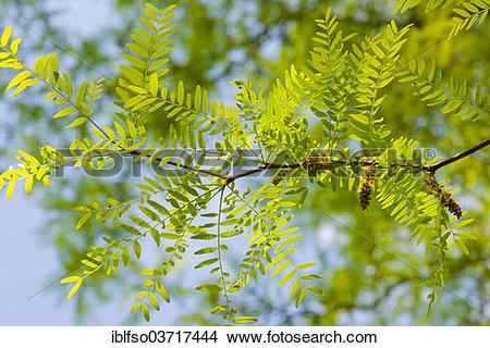 """Stock Photo of """"Honey Locust or Thorny Locust (Gleditsia."""