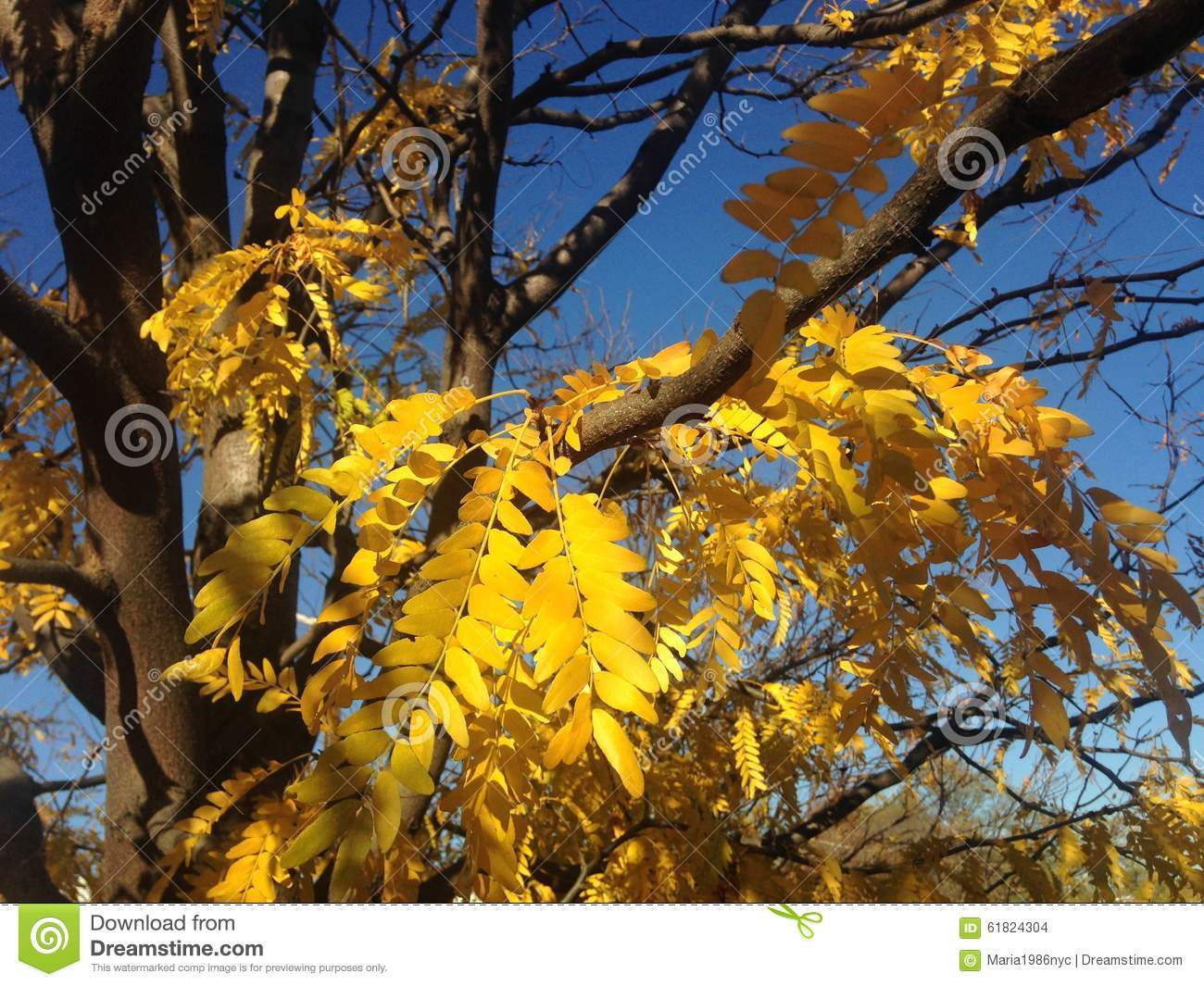 Gleditsia Triacanthos Tree With Yellow Leaves In The Fall. Stock.