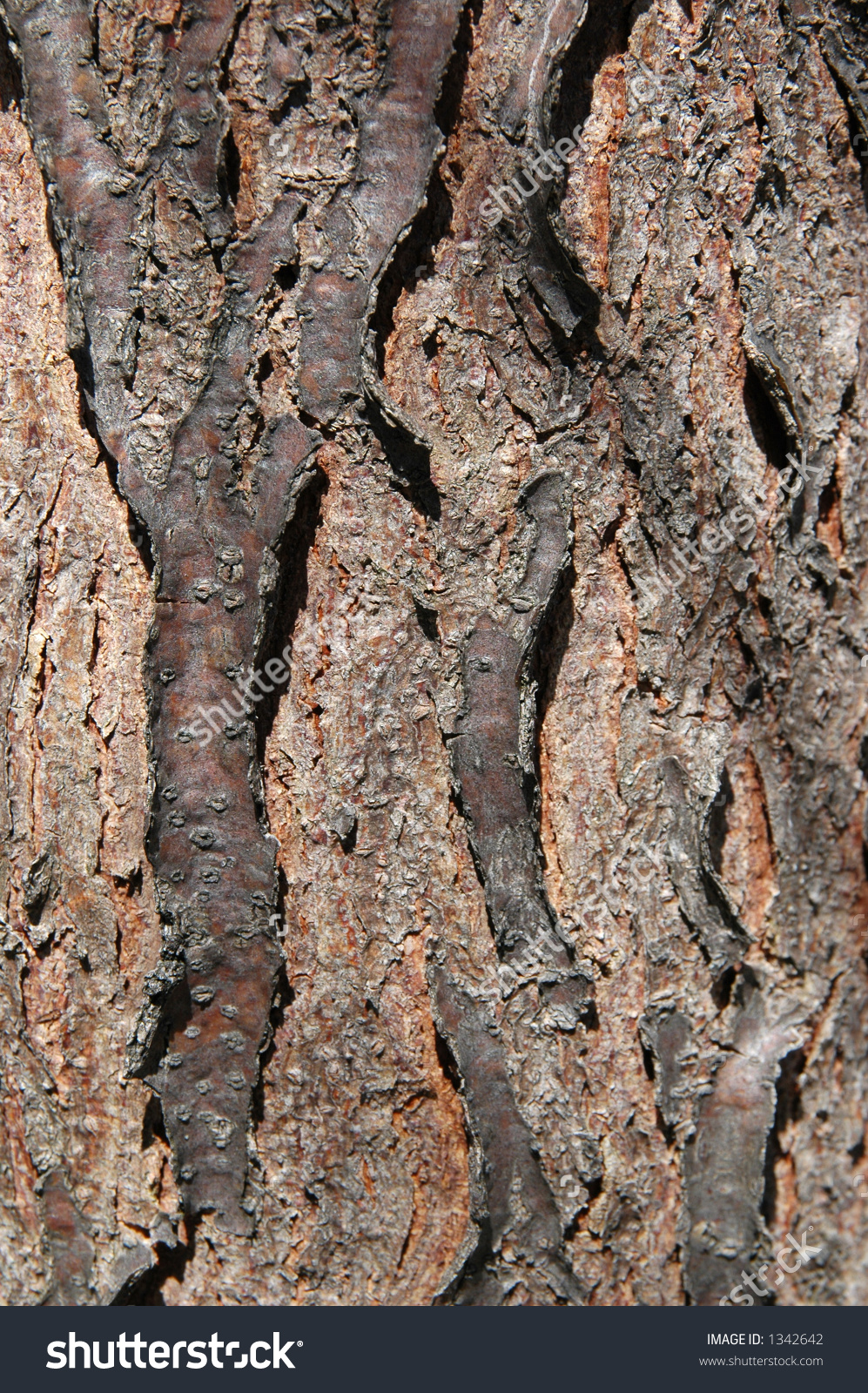 Tree Bark Of The Skyline Honey Locust.
