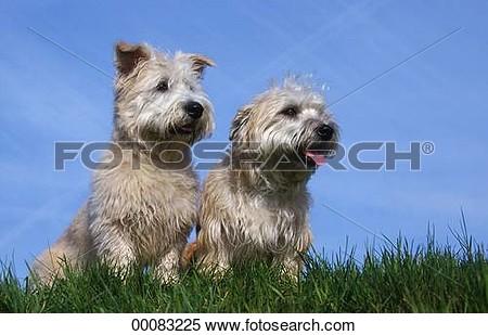 Glen of imaal terrier clipart.