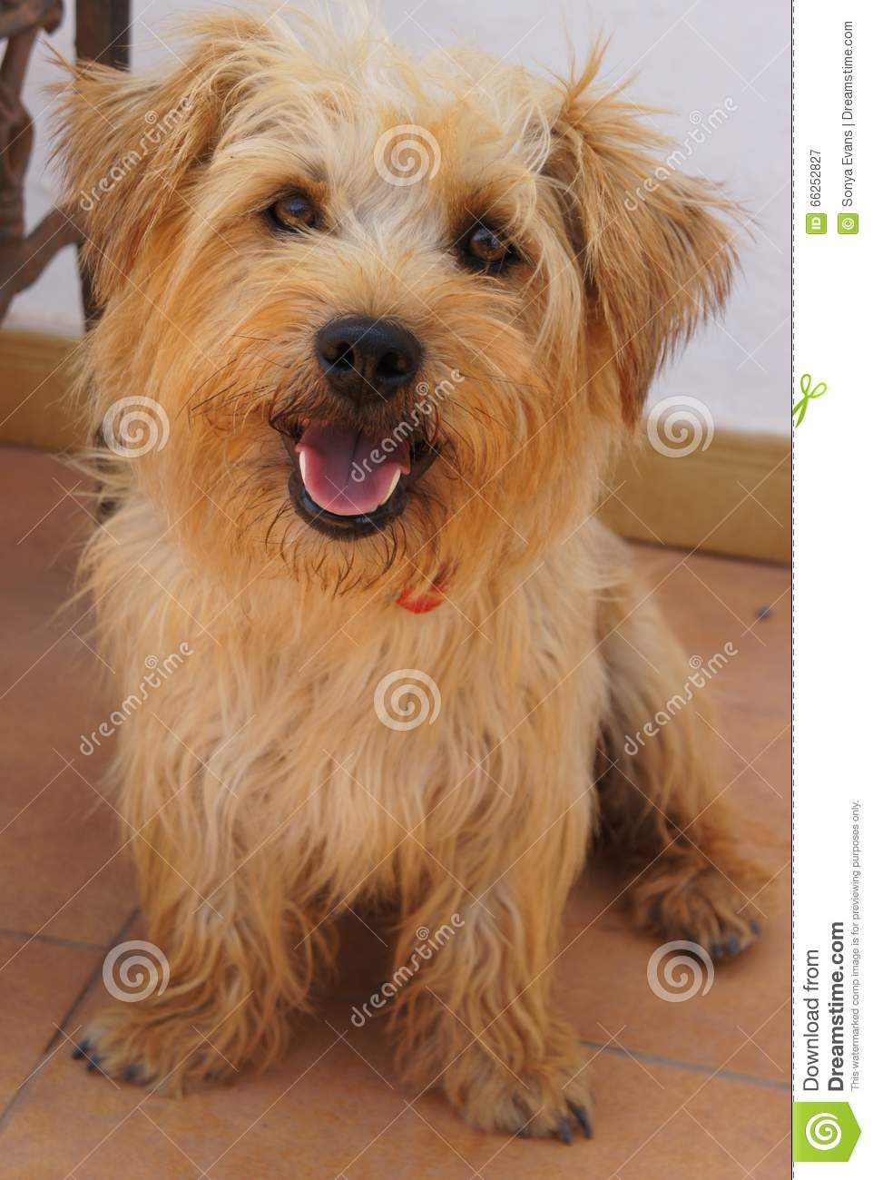 Glen Of Imaal Terrier Mixed Breed Dog Stock Photo.
