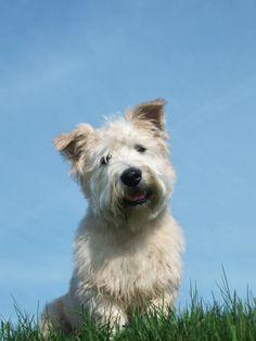 Glen of Imaal Terrier #Dogs #Puppy.