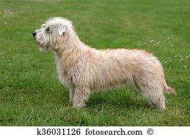Irish glen imaal terrier Stock Photos and Images. 13 irish glen.