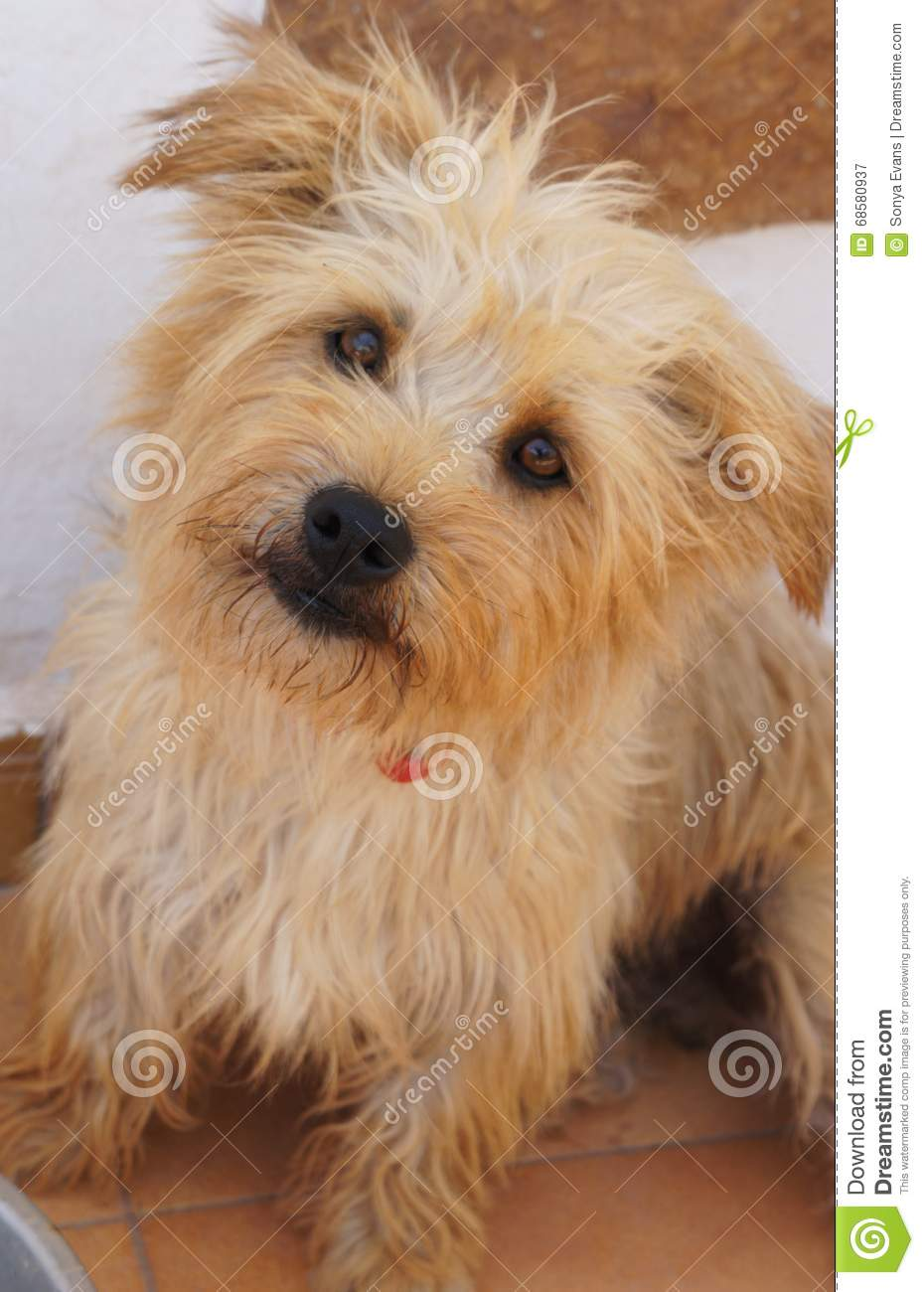 Irish glen imaal terrier clipart.