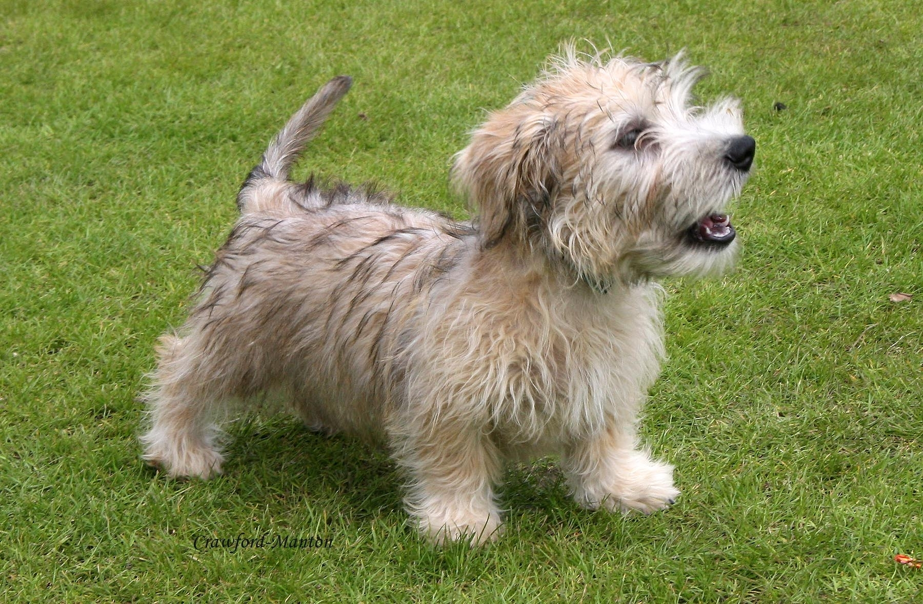 Glen of imaal terrier clipart.