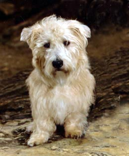 Glen Of Imaal Terrier Oregon.