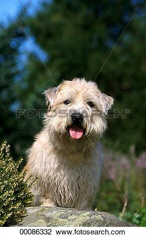 Stock Photo of Glen, Imaal, Irish, Irish Glen of Imaal Terrier.