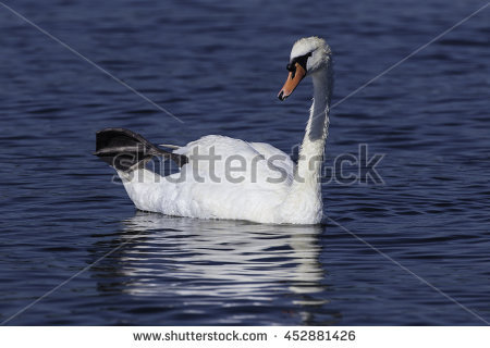Grooming Swan Stock Photos, Royalty.