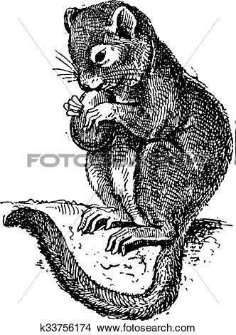 Clipart of Dormouse or Gliridae, vintage engraving k33756174.