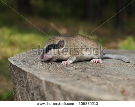 Gliridae Stock Photos, Images, & Pictures.
