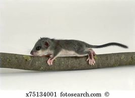 Gliridae Stock Photos and Images. 46 gliridae pictures and royalty.