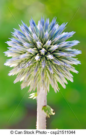 Stock Photo of Blue globe thistle (Echinops) in the garden.