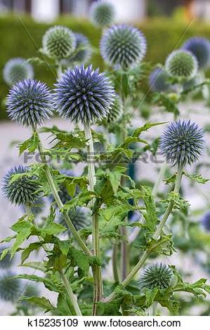 Stock Photograph of Blue globe thistle (Echinops) k15235109.