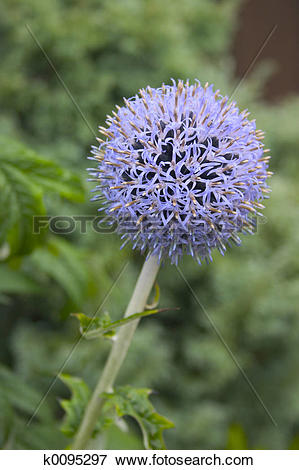 Picture of Globe Thistle k0095297.
