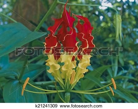 Stock Photograph of Gloriosa superba, Liliaceae, Lily family.
