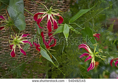 Gloriosa Lilies Stock Photos, Royalty.