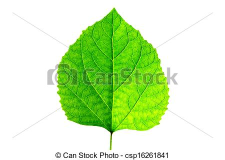 Stock Photo of Green leaves of Glory Bower (Clerodendrum chinense.