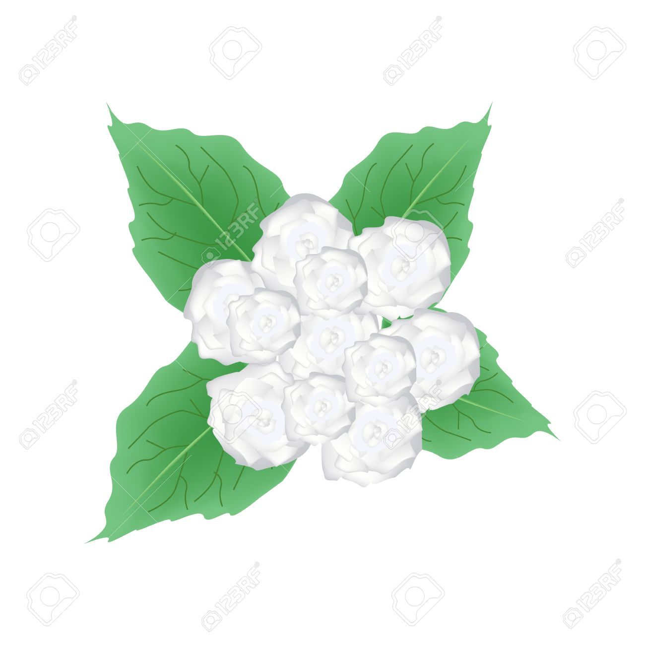 Illustration Of White Glory Bower Flowers Or Clerodendrum Chinense.