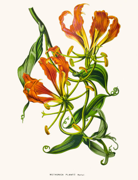 Glory Lily Flower 19th Century Illustration Clip Art, Vector.