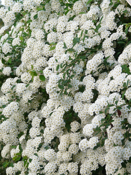 Free photo: Glory Spierstrauch, Flowers, White.