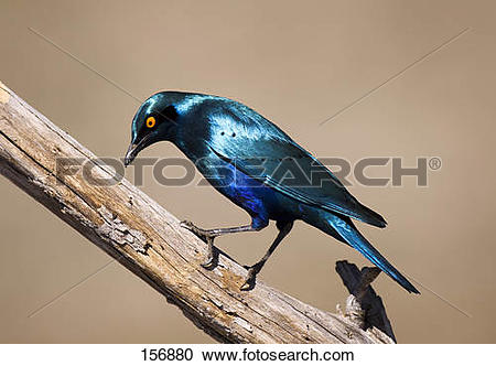 Stock Photography of Cape Glossy Starling.
