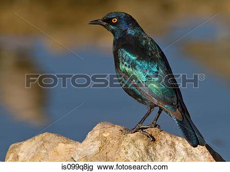 Stock Photo of Cape Glossy Starling, Kgalagadi Transfrontier Park.