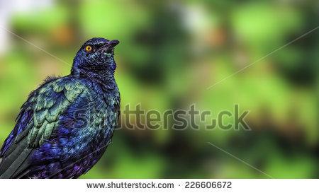 Purple Glossy Starling Stock Photos, Royalty.
